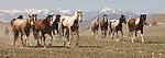 A wide capture of horses running towards the camera with the Tobacco Root mountains in the background during the annual Three Forks Horse Roundup in Montana