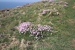 Thrift, Armeria maritima, growing on cliff top, Pembrokeshire coast national park, Wales