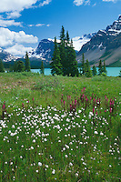 Cottongrass and elephantheads <br /> Bow Lake,  Banff National Park <br /> Rocky Mountains<br /> Alberta, Canada