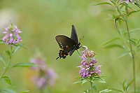 Pipevine Swallowtail (Battus philenor), adult feeding on Lemon beebalm (Monarda citriodora),Hill Country, Central Texas, USA