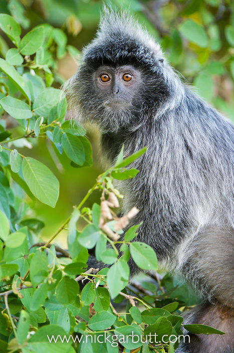Silvered Langur or Silver Leaf Monkey (Presbytis cristata). Bako National Park, Sarawak, Borneo.