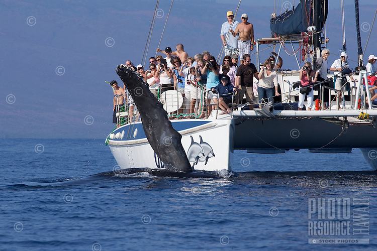 Whale watchers have a close encounter with a humpback whale, Maui, Hawaii, USA.