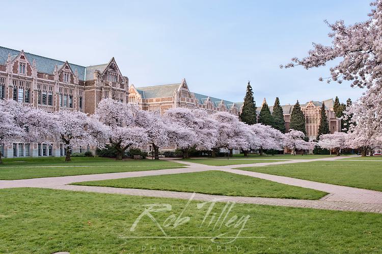 USA, WA, Seattle, University of Washington, Yoshino Cherry Trees Blooming on the Quad