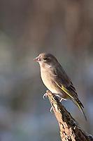 Grünfink, Grünling, Grün-Fink, Weibchen, Chloris chloris, Carduelis chloris, greenfinch, Verdier d'Europe