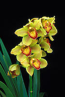 Yellow and orange cymbidium orchid