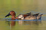 Cinnamon Teal pair (Anas cyanoptera) swimming in a pond in Houston, Texas, USA.