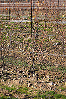 Chateau Rives-Blanques. Limoux. Languedoc. Recently planted young Chardonnay grape vine variety. Terroir soil. France. Europe. Vineyard.