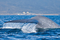 blue whale, Balaenoptera musculus, fluke, endangered species, San Diego, California, USA, Pacific Ocean