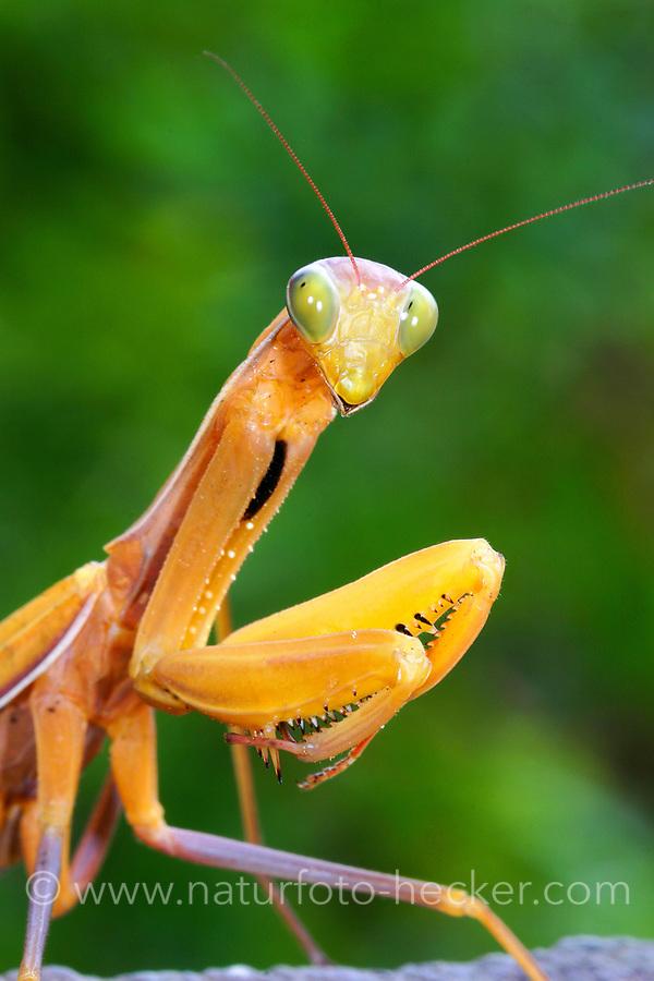 Gottesanbeterin, Europäische Gottesanbeterin, seltene gelbe Farbform, Fangschrecke, Mantis religiosa, Praying Mantis, Fangschrecken, Mantodea, mantises, mantes, mantid, mantids, Mante religieuse, mantoptères