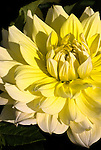 Yellow Dahlia, Swan Island Dahlias, Oregon