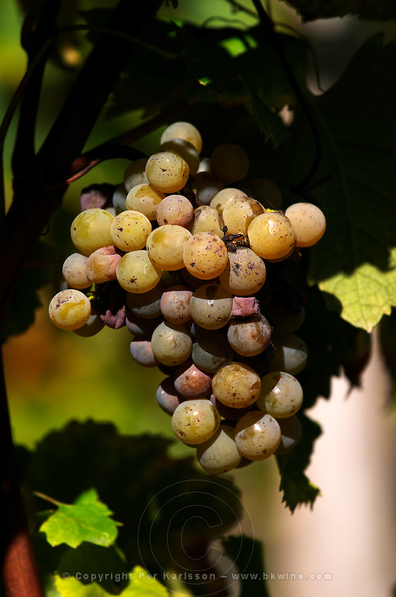 semillon grapes with noble rot beginning chateau guiraud sauternes bordeaux france