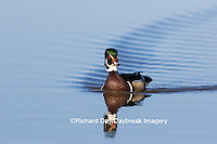 00715-08812 Wood Duck (Aix sponsa) male in wetland,  Marion County, IL
