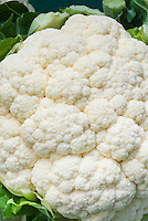 Cauliflower 'Cornell' vegetable, closeup of florets and head