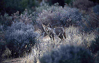 COYOTE HUNTING THE CHAPARRAL