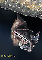 0723-0804  Seba's Short-tailed Bat peaking out from under wing, Carollia perspicillata © David Kuhn/Dwight Kuhn Photography