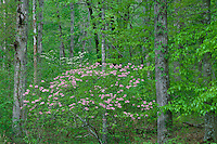 Fragrant pink azalea and flowering dogwood<br />