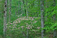 Fragrant pink azalea and flowering dogwood<br /> Otter Creek,  Blue Ridge Parkway<br /> Jefferson National Forest<br /> Blue Ridge Mountains,  Virginia