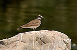 Killdeer Southern California