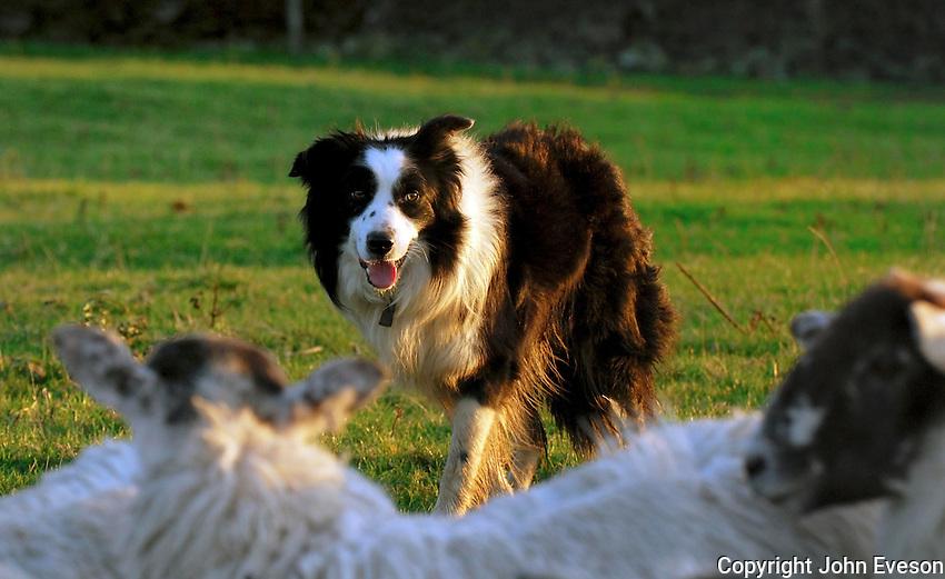 Sheepdog and Mule sheep, Quernmore, Lancaster....Copyright John Eveson 01995 61280..j.r.eveson@btinternet.com