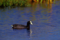 The hawaiian coot or alae ke okeo, (fulica aericana alai). This endemic race occurs locally on all main islands.