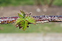 New spring growth on 'Silvan' blackberry, late March.