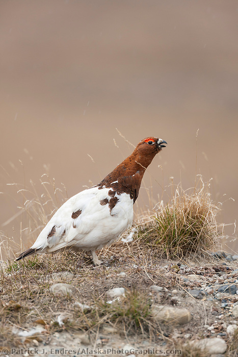Male willow ptarmigan in breeding plumage on the tundra of Alaska's north slope.