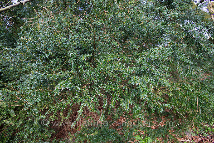 Europäische Eibe, Eibenbaum, Taxus baccata, European yew, Common yew