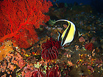 Da Xia Gu ('Grand Canyon'), Green Island -- Moorish idol (Zanclus cornutus) in front of a red sea fan.