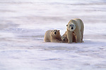 Three polar bears rest in the drifting snow in Canada.