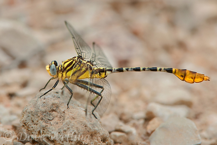 389860011 a wild male flag-tailed spinylegs dromogomphus spoliatus perched on a rock in southeast metropolitan park travis county texas
