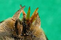 Bremse, kräftiger, stiletartiger Stechrüssel, Mundwerkzeug, Mundwerkzeuge, die Mundwerkzeuge der Bremsen sind zu einem stilettartigen Saugrüssel umgebildet, der aus Labrum, Hypopharynx und den paarigen Mandibeln und Maxillen besteht, Rinder-Bremse, Rinderbremse, Rinder - Bremse, Tabanus spec., large horsefly
