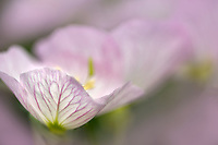 Close up of Siskiyou Evening Primrose (Oenothera siskiyou). Oregon