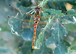 Dragonflies and Damselflies