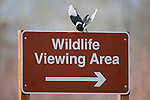 A Magpie taking flight from a Wildlife Viewing Area sign in the Lee Metcalf Wildlife Refuge in Montana