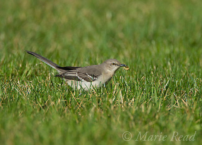 Northern Mockingbird (Mimus polyglottos), adult holding insect larva it has just captured on a lawn, Interlaken, New York, USA