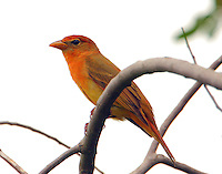 Bright adult female summer tanager in April