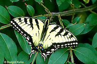 SB01-014z  Butterfly - Tiger Swallowtail - Pterourus glaucus