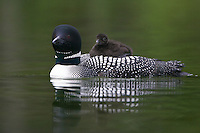 Common Loon swimming while carrying a chick on its back