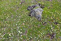 Carpet of wildflowers (Mountain Aven) on the tundra, Denali National Park, Interior, Alaska.