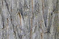 Robinie, Gewöhnliche Scheinakazie, Schein-Akazie, Falsche Akazie, Rinde, Borke, Stamm, Baumstamm, Robinia pseudoacacia, False Acacia, Black Locust, bark, rind, trunk, stem, Robinia, Le Robinier faux-acacia, Acacia