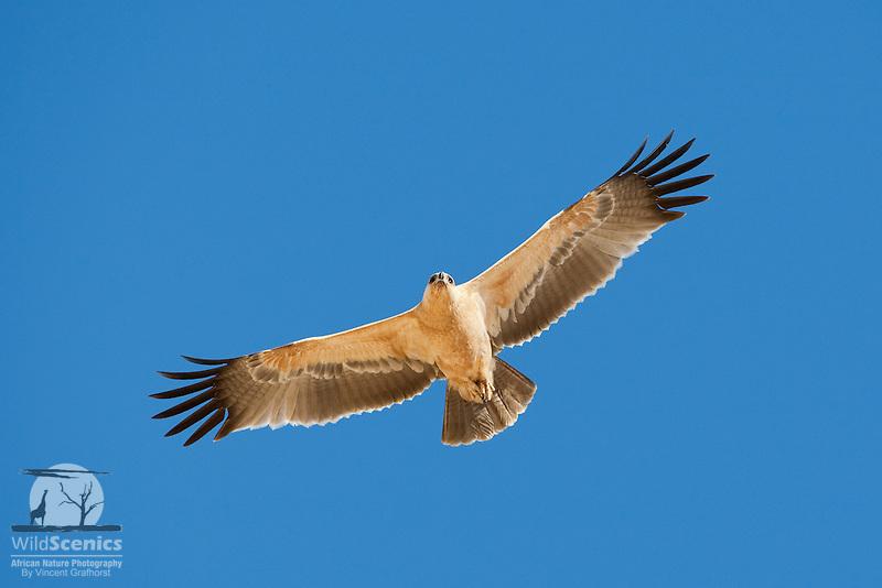 Tawny Eagle In Flight Wild Scenics
