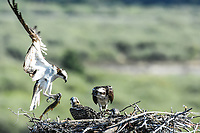 A male Osprey delivers a fresh caught fish to his family, Northwest Wyoming.