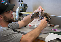 Prey Taxidermy student Nick Ritchie works on an eastern screech owl. In recognition of International Owl Awareness Day, the Moore Laboratory of Zoology hosts an event with Allis Markham of Prey Taxidermy and several of her students as they taxidermy a variety of owls that were found dead (not on campus) and donated to the Moore Lab, Aug. 4-5, 2015.<br /> (Photo by Marc Campos, Occidental College Photographer)