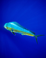 mahi-mahi, common dolphinfish, or dorado, Coryphaena hippurus, cow, Kona Coast, Big Island, Hawaii, USA, Pacific Ocean