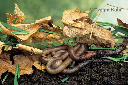 1Y01-083z  Earthworms under leaf litter, Nightcrawlers, Lumbricus terrestris.