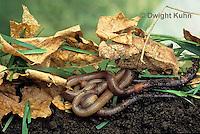 1Y01-083z  Earthworms under leaf litter, Nightcrawlers, Lumbricus terrestris.