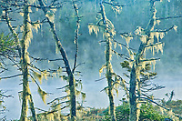 Lichens on trees in fog, West Quoddy, Nova Scotia, Canada