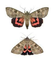 72.078 (2452)<br /> Red Underwing - Catocala nupta