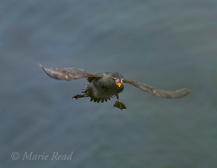Crested Auklet (Aethia cristatella) adult in breeding plumage, flying in to land, St Paul Island, Pribilofs, Alaska,