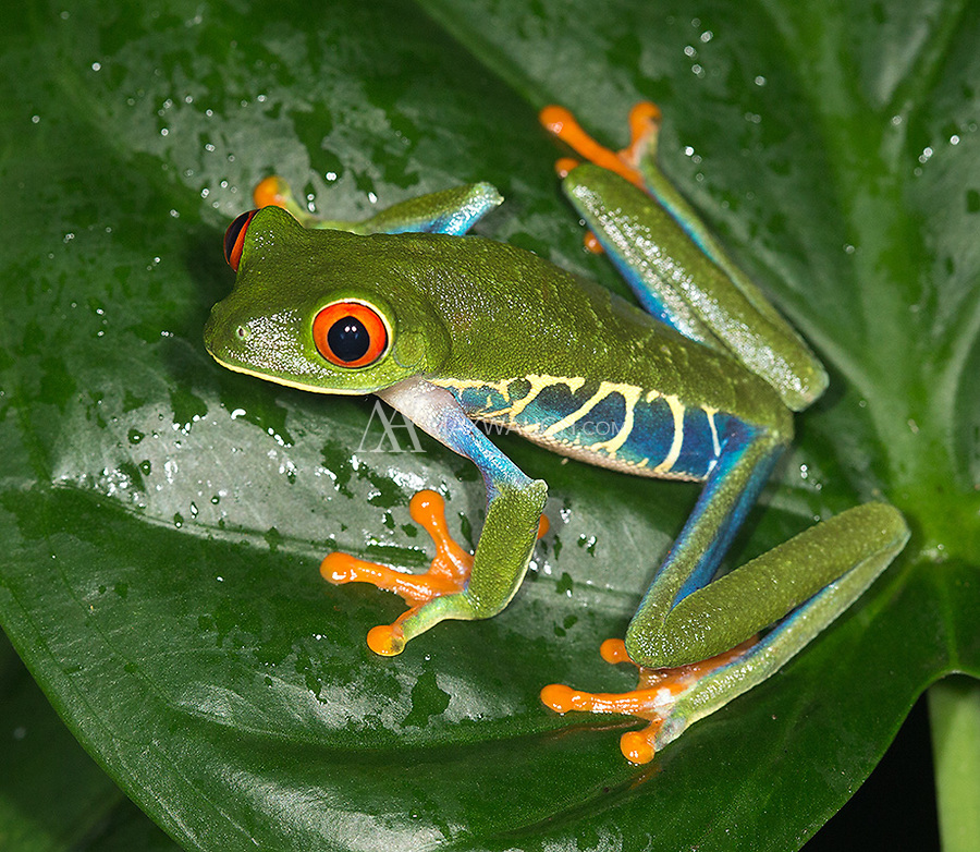 Probably my favorite Costa Rican frog species.